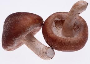 Японский гриб подарит лекарство от папиллом