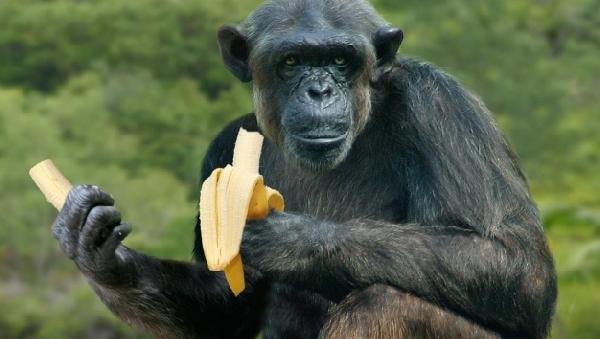 Гепатит В, возможно, нам достался в наследство от шимпанзе
